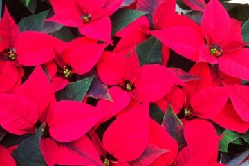Weihnachtsstern rot